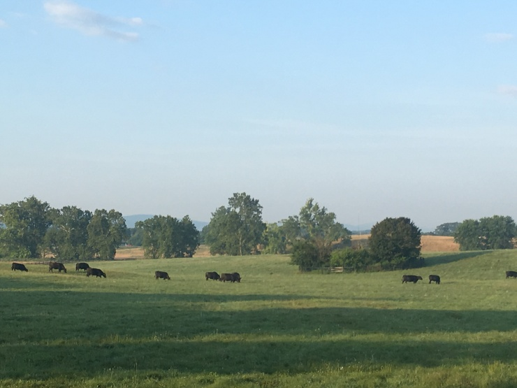 Audley cattle
